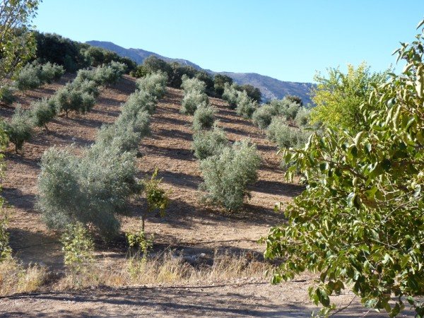 Lovely Finca with large olive and fruit groves, pool, spectacular views, near Antequera Town.properties/14/05.jpg